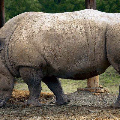 Extinção de Rinoceronte da Malásia